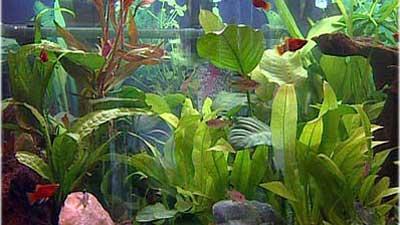 Kleine Fische (4) – Pflanzen Halten Das Aquarium Gesund