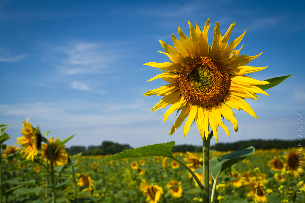 Sonnenblume Bluehen