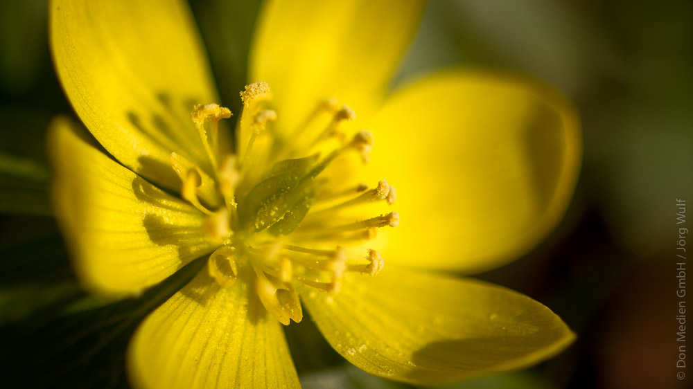 Pollen-gelbe-bluete-pollenschutz