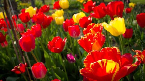 Tulpen Fruehlingsdeko Blumengesteck